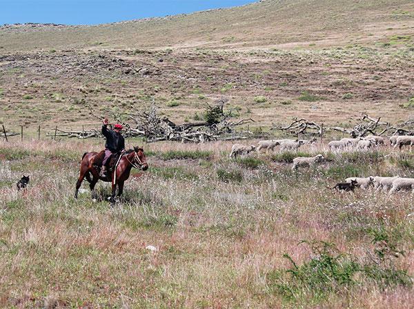 Ele conduzia um monte de ovelhas ajudado por seus cães - a caminho do Parque Torres del Paine, Chile - Foto: Amandina Morbeck.