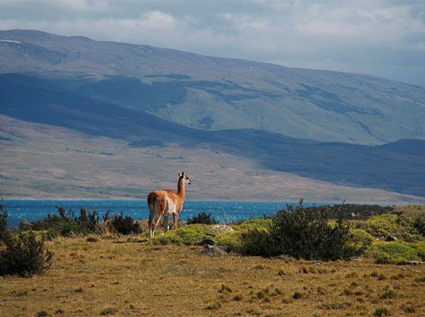 Guanaco solitário cercado por paisagem de tirar o fôlego - a caminho do Parque Torres del Paine, Chile - Foto: Amandina Morbeck.
