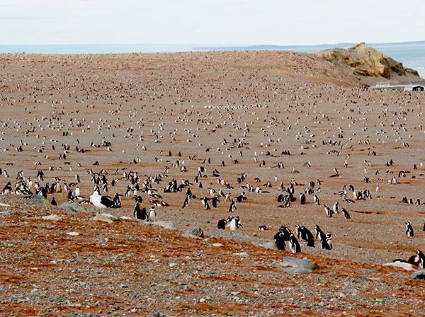 Toda a ilha é ocupada pelos pinguins-de-magalhães, que constroem seus ninhos em buracos no solo - Isla Magdalena, Punta Arenas, Chile - Foto: Amandina Morbeck.