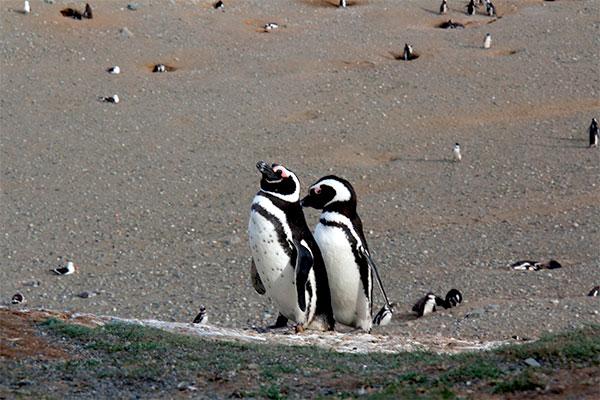 Casal de pinguins-de-magalhães na Isla Magdalena, Punta Arenas, Chile - Foto: Amandina Morbeck.