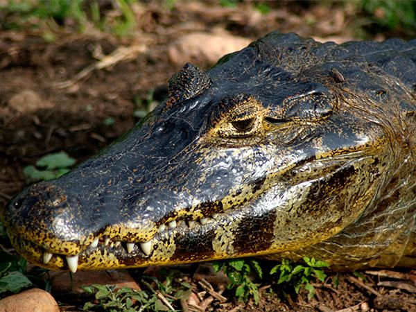 Na época da seca, os jacarés são vistos mais facilmente - Um pouco sobre o Pantanal - www.viajandocomaman.com.br - Foto: Amandina Morbeck.