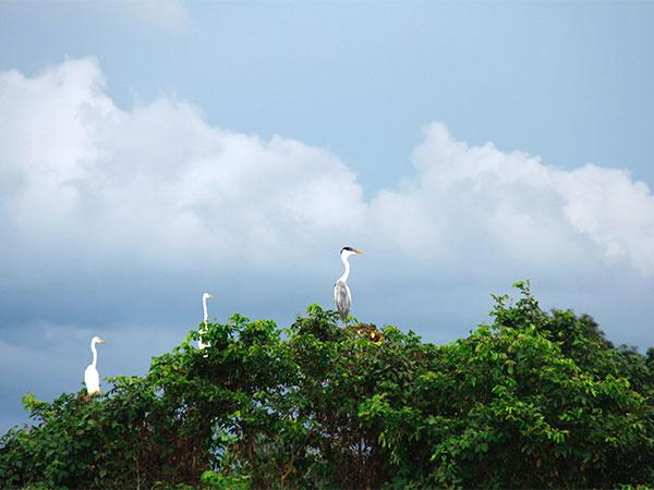 Há muitas espécies de aves no Pantanal - Um pouco sobre o Pantanal - www.viajandocomaman.com.br - Foto: Amandina Morbeck.