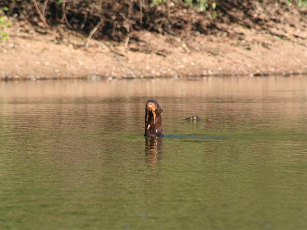 Essa ariranha estava muito irritada confinada numa poça muito rasa - Pantanal de Mato Grosso do Sul - www.viajandocomaman.com.br - Foto: Amandina Morbeck.