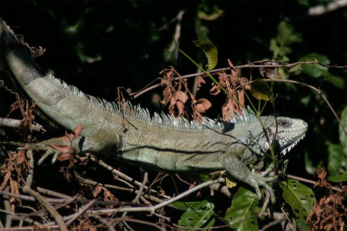Iguana pendurada numa árvore na margem do Rio Miranda - Pantanal do Mato Grosso do Sul - www.viajandocomaman.com.br - Foto: Amandina Morbeck.