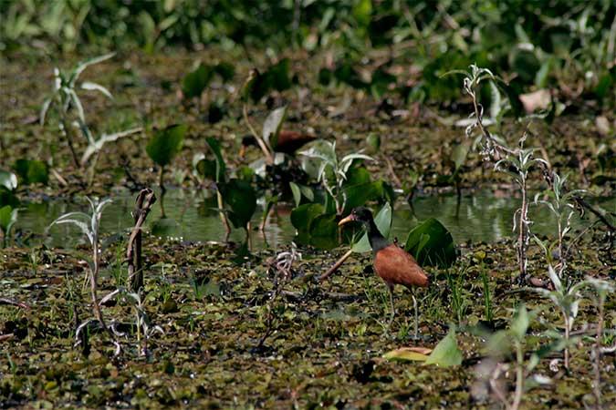 Esse pássaro, Cafezinho, é muito lindo - Pantanal de Mato Grosso do Sul - www.viajandocomaman.com.br - Foto: Amandina Morbeck.