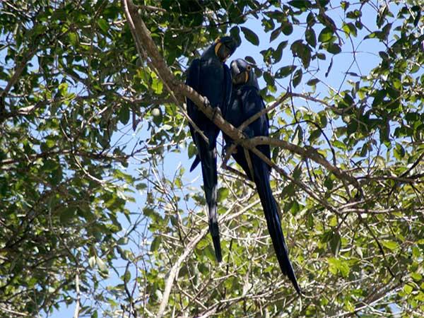 Um casal de araras-azuis que parecia apaixonado - Pantanal do Mato Grosso do Sul - www.viajandocomaman.com.br - Foto: Amandina Morbeck.