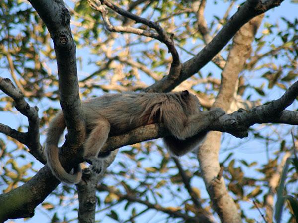 Bugio fêmea que parece indicar que só quer sossego - Pantanal do Mato Grosso do Sul na seca - www.viajandocomaman.com.br - Foto: Amandina Morbeck.