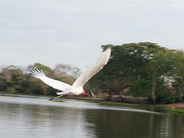 O belo voo do tuiuiú, o símbolo do Pantanal, sobre o Rio Claro - www.viajandocomaman.com.br