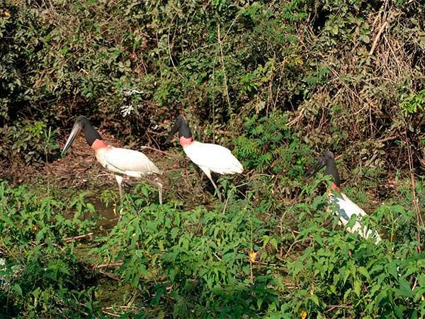 Um rolê com amigos - Tuiuiú, o símbolo do Pantanal - www.viajandocomaman.com.br - Foto: Amandina Morbeck.