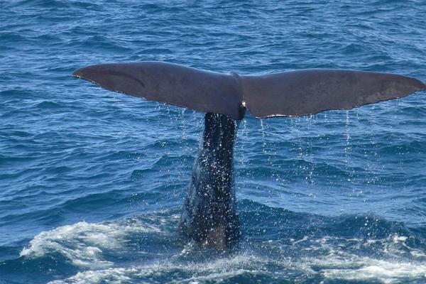 Kaikoura, Nova Zelândia, é uma cidade na costa oriental da Ilha Sul que atrai turistas para observação de baleias, principalmente cachalotes. É conhecida também por ser um dos locais mais acessíveis do planeta para observação de aves de mar aberto, como albatrozes - Foto: Wikimedia/Christoph Aistleitner.