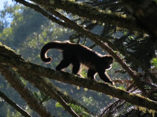 Macacos-prego, como esse, fazem a festa nas araucárias na época do pinhão - Foto: Amandina Morbeck.
